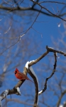 Red bird perched on a snowy branch