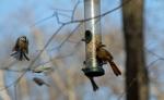 Birds Around the Feeder